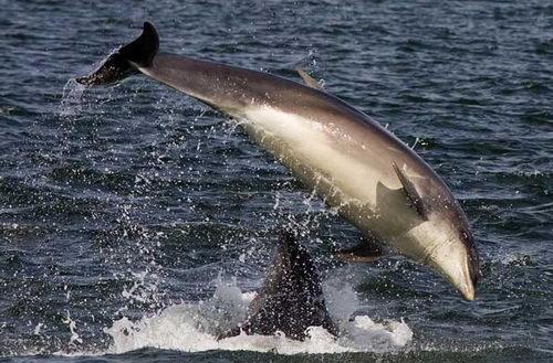 组图:英动物摄影家拍下海豚跳水嬉游精彩图片