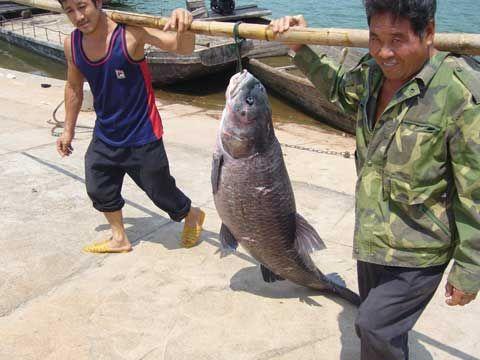 江西捕捞到 巨无霸 青鱼 眼睛如拳头般大