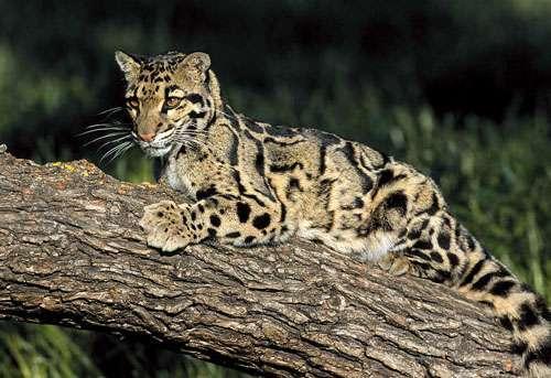 印度一保护区内动物可认养 包括云豹等濒危动物