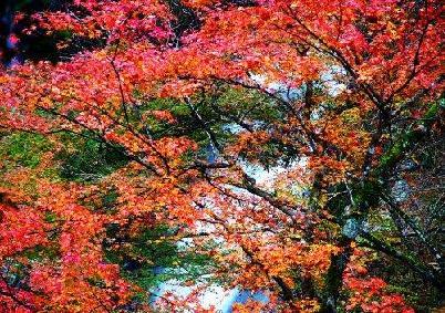 与江南枫树不同的是,这种枫叶呈三角形,经霜的叶子不是一下子转红