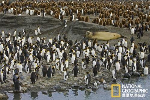 企鹅的求偶行为