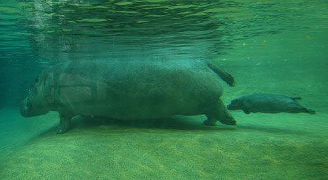 柏林动物园新出生小河马首次在公众面前亮相.
