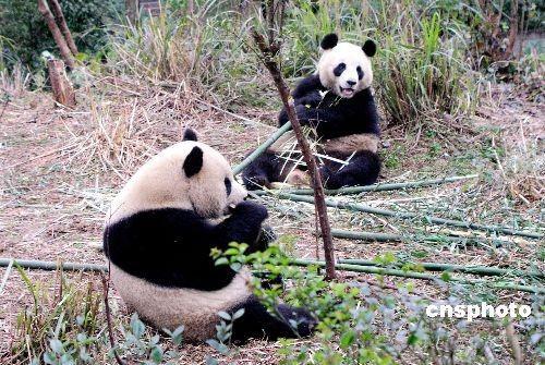 """大熊猫""""团团"""",""""圆圆""""乘车前往台北动物园"""