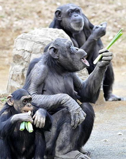 动物园里黑猩猩吃大葱预防感冒[组图]