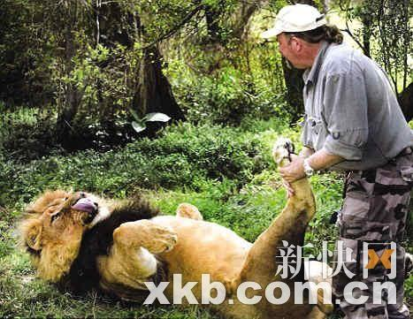 南非一名动物保育员为狮子按摩脚掌[组图]