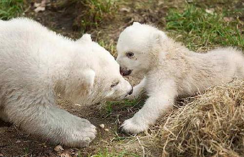 荷兰动物园北极熊双胞胎首次外出活动(组图)