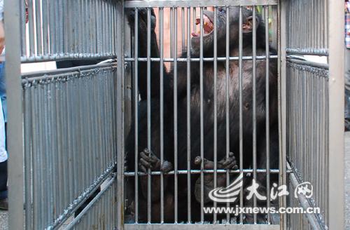 南昌动物园黑猩猩接受人工授精[组图]