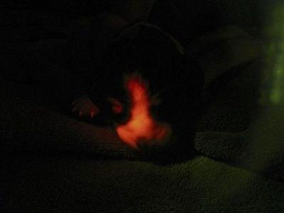 首尔大学研制出的荧光转基因克隆狗