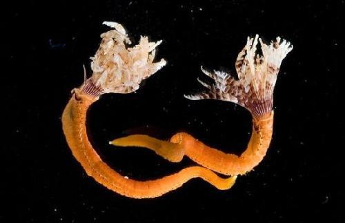 绚丽深海动物:冰海天使形如深海幽灵[组图]