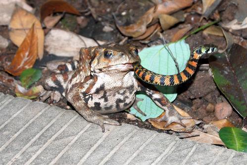 蟾蜍吞蛇 重庆游客青城山拍下罕见图片