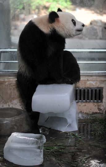 """2009年7月13日,武汉动物园的大熊猫""""希望""""用冰块""""乘凉""""."""