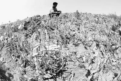 8月14日,在辽宁省阜新蒙古族自治县旧庙镇沙金村,一位农民蹲在旱情