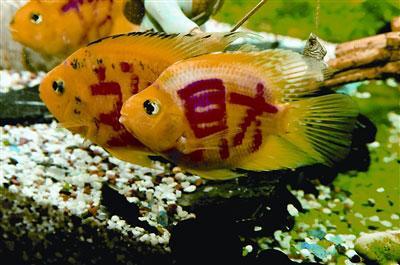 """9月1日,长春市花鸟鱼市场,很多水族馆内都在销售一种""""文身鱼"""""""