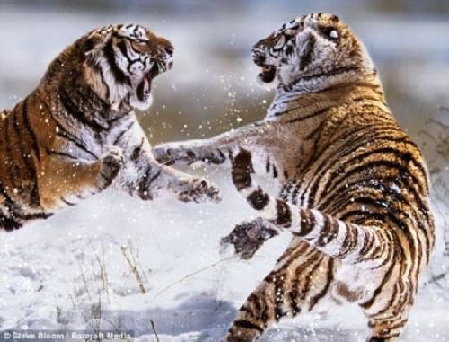 动物打斗瞬间:河马成狮子群悲惨牺牲品(组图)