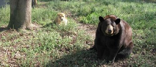 美国动物园老虎狮子熊同住一室