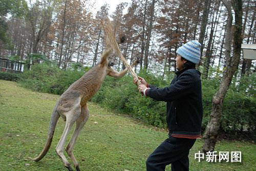 (何志华 徐金波)14日上午,武汉ag游戏直营网 平台园袋鼠馆饲养员进入袋鼠活动场清扫