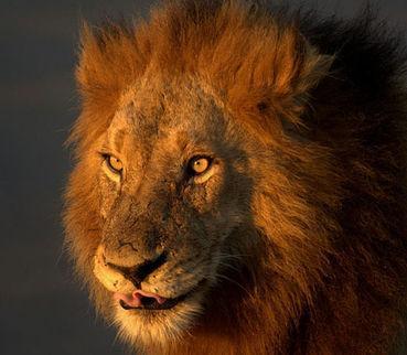 南非男子进野生动物园偷猎被狮子吞食(图)