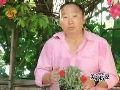 种植康乃馨技巧多 母亲节送康乃馨最贴心