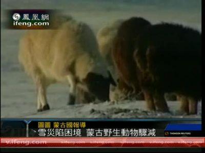 受雪灾影响 蒙古国野生动物数量骤减