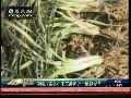华北地区持续干旱 八省冬小麦主产区受灾