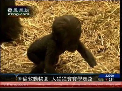 伦敦动物园3个月可爱大猩猩宝宝学习走路-手机凤凰网