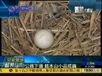 """安徽蒙城""""公鸡下蛋"""" 赵本山小品竟成真"""