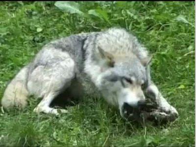 群狼撕咬致死一名瑞典动物女管理员-互联星空