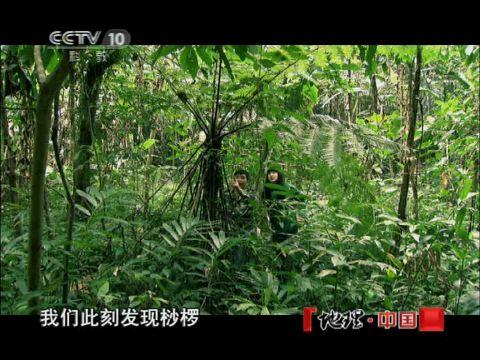 """2012-06-24地理中国 """"咬人""""的怪树"""