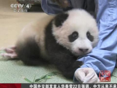 熊猫宝宝小礼物牙齿观察可见