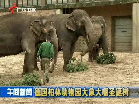德国柏林动物园大象大嚼圣诞树