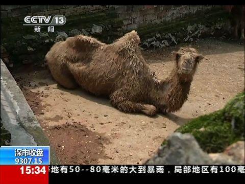 宜春动物园疑虐待动物 骆驼瘦到皮包骨
