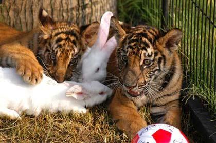 小老虎与小白兔和谐相处,相互为友,嬉戏同乐,构成了大自然中和睦有趣