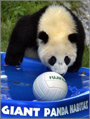 什么动物对熊猫生存有害
