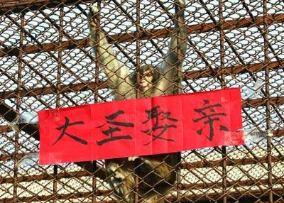 """秦岭野生动物园猕猴""""娶亲""""黑熊""""证婚"""""""
