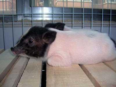 一种养不大,两头黑中间白的宠物猪开始受到绍兴市民关注,猪年养只宠物