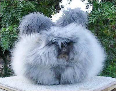 安哥拉兔 世界上的巨型兔子