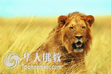 """""""狮子生气了:""""这个世界上还有我去不了的地方?"""