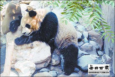 """""""兰崽""""的母亲""""蜀兰""""曾居住在兰州市动物园"""