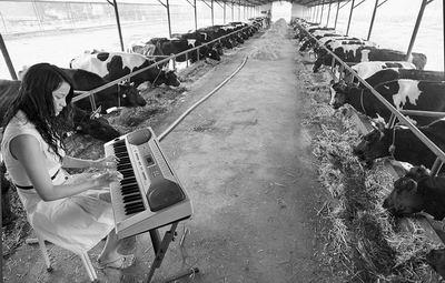 对牛弹琴文言文_奶牛场主请人对牛弹琴 称可多产奶(图)_资讯_凤凰网