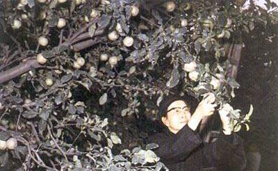 江青/1976年10月6日下午,江青在景山公园摘苹果。当晚,四人帮被...