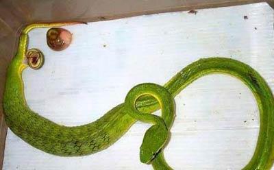 卵胎生 见证大蛇生下小蛇