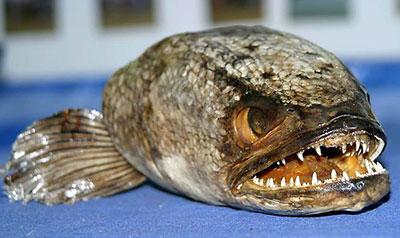 巨型食人鱼图片_英国出现巨型食人鱼 被认为从国外走私入境(图)_资讯频道_凤凰网