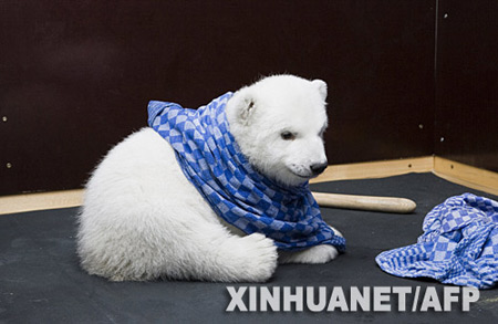 德国纽伦堡动物园饲养小北极熊(组图)