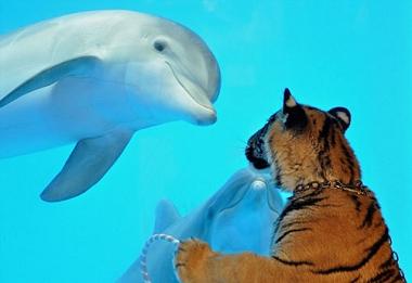 素食护生:美国加州动物园老虎与海豚成为好朋友