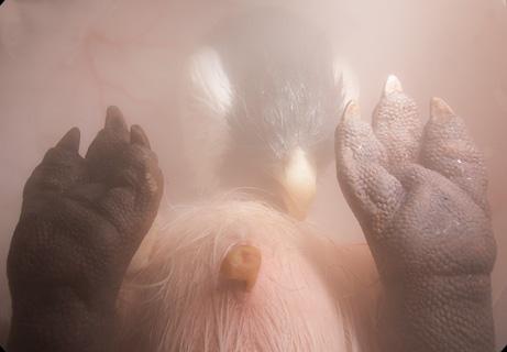 在艰辛孵化结束前的几天里,最后要破壳而出的帝企鹅在蛋里安心地一呼一吸。通常孵化的蛋位于帝企鹅爸爸的脚下,而帝企鹅妈妈则处于长达数月的捕鱼征途之中。不像人类胚胎的发育,企鹅宝宝不能从妈妈的血液中获得氧气。相反,它们的脐带连着企鹅蛋内壁上一层膜中的血管,氧气通过蛋壳的微小气孔进入企鹅胚胎的血液中。64天后,帝企鹅宝宝开始慢慢破壳而出。幸运的话,妈妈则在一边等待给它们喂鱼吃呢。