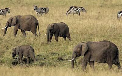 动物保护专家发出警告:如若长此以往,非洲大象将在15年之内灭绝.