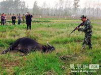 江苏40余警力围剿疯牛 武警战士6枪将其击毙[图集]
