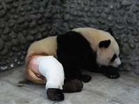 被剃毛的大熊猫[图集]