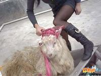 网友拍下美女杀羊全过程[组图]