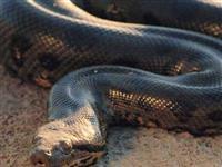 看看各国巨型大蛇[图集]